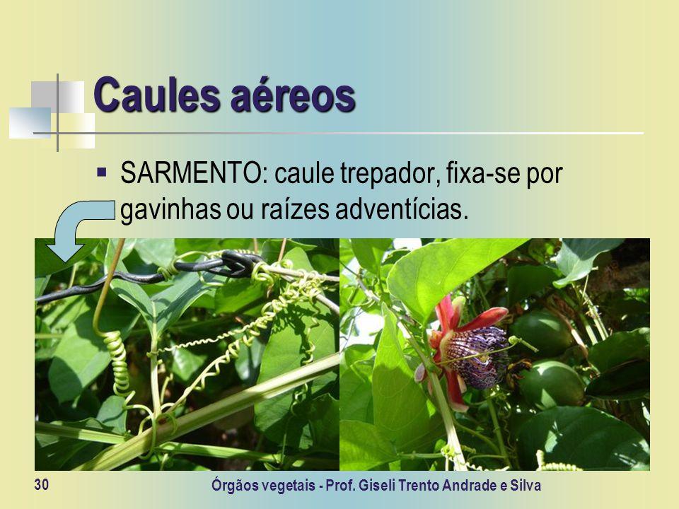 Órgãos vegetais - Prof. Giseli Trento Andrade e Silva 30 Caules aéreos SARMENTO: caule trepador, fixa-se por gavinhas ou raízes adventícias.