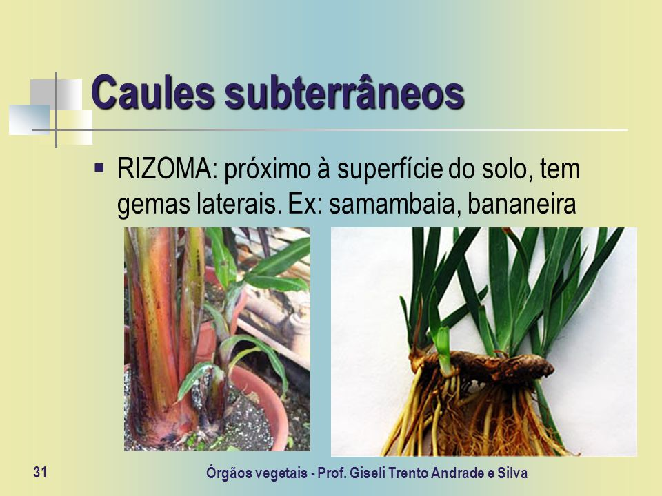 Órgãos vegetais - Prof. Giseli Trento Andrade e Silva 31 Caules subterrâneos RIZOMA: próximo à superfície do solo, tem gemas laterais. Ex: samambaia,