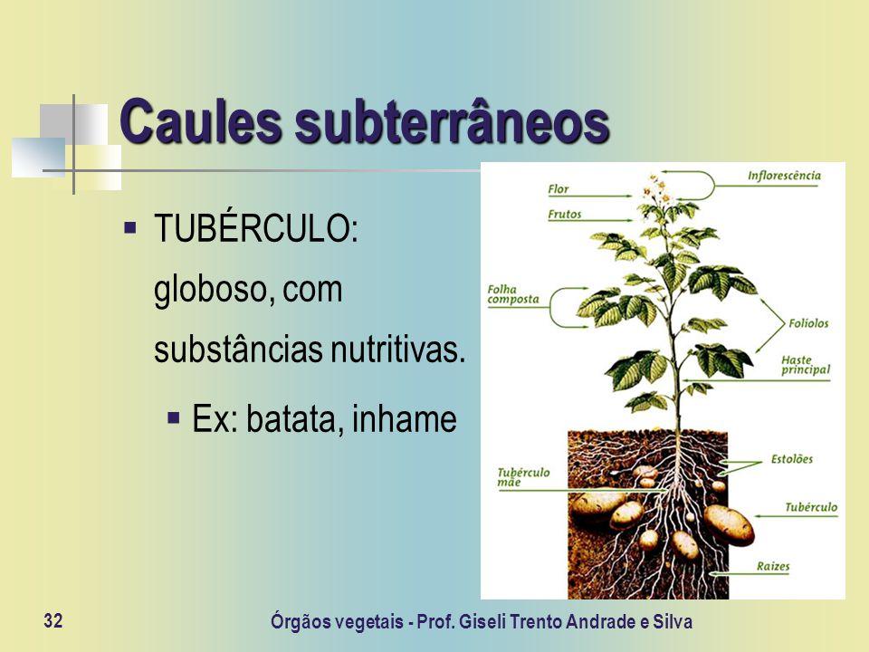 Órgãos vegetais - Prof. Giseli Trento Andrade e Silva 32 Caules subterrâneos TUBÉRCULO: globoso, com substâncias nutritivas. Ex: batata, inhame