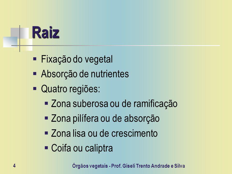 4 Raiz Fixação do vegetal Absorção de nutrientes Quatro regiões: Zona suberosa ou de ramificação Zona pilífera ou de absorção Zona lisa ou de crescime