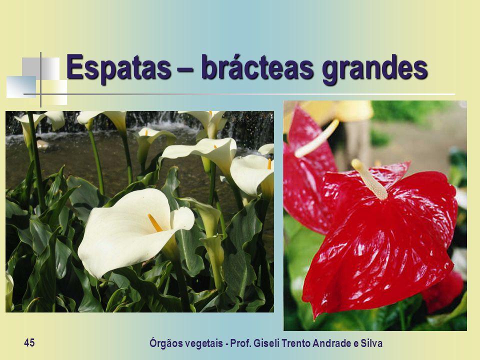 Órgãos vegetais - Prof. Giseli Trento Andrade e Silva 45 Espatas – brácteas grandes