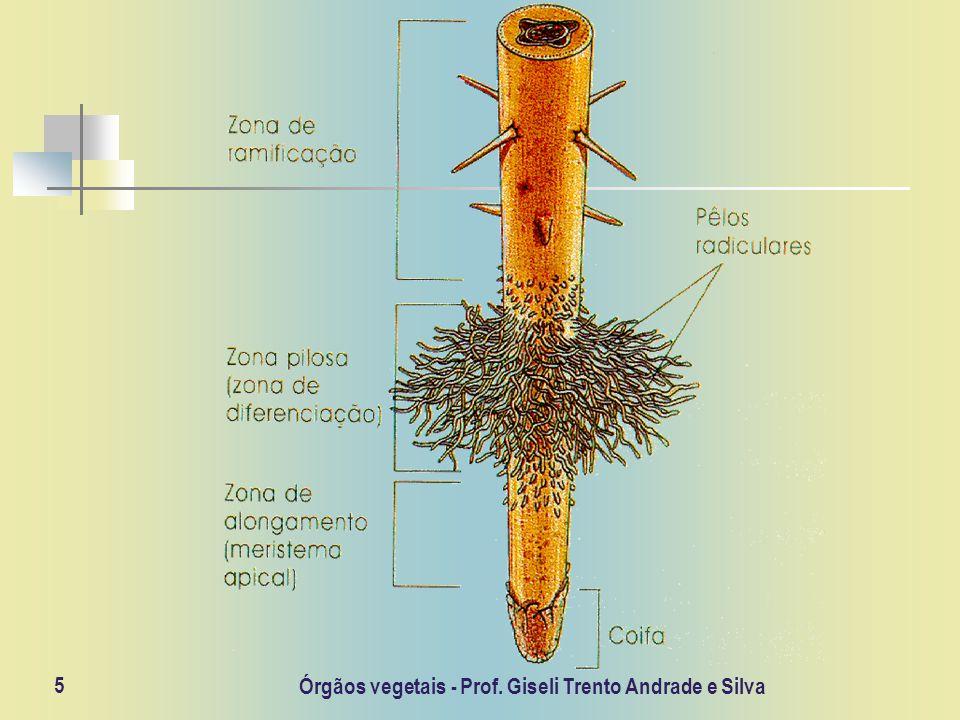 Órgãos vegetais - Prof. Giseli Trento Andrade e Silva 5