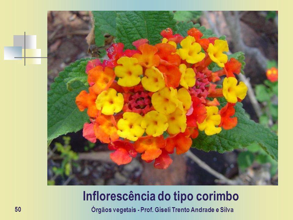 Órgãos vegetais - Prof. Giseli Trento Andrade e Silva 50 Inflorescência do tipo corimbo
