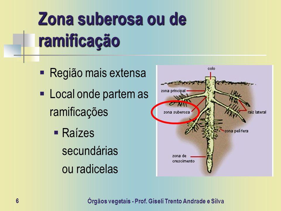 6 Zona suberosa ou de ramificação Região mais extensa Local onde partem as ramificações Raízes secundárias ou radicelas