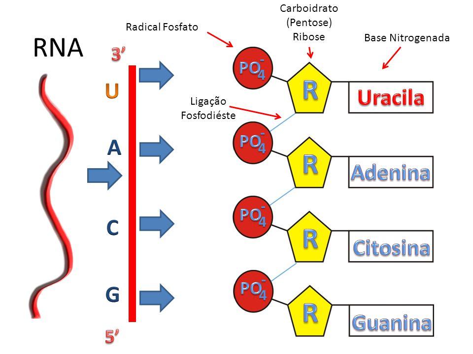 RNA 4- 4- 4- 4- Radical Fosfato Carboidrato (Pentose) Ribose Base Nitrogenada Ligação Fosfodiéste