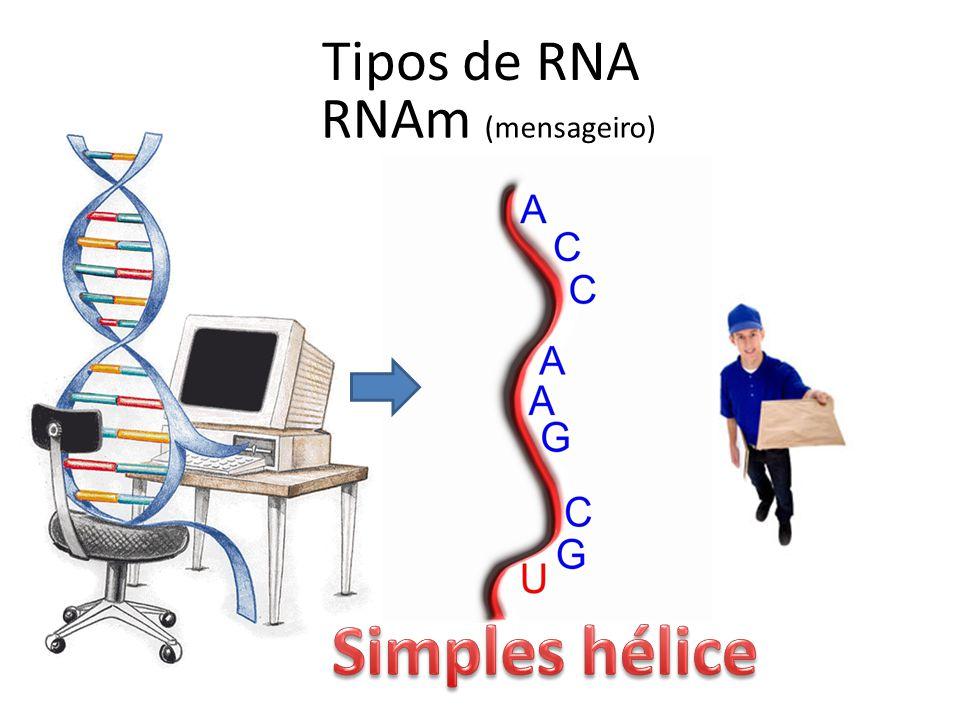 Tipos de RNA RNAm (mensageiro)