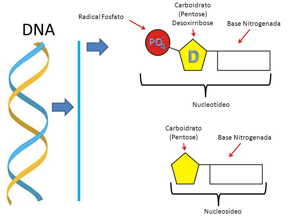 DNA 4- Radical Fosfato Carboidrato (Pentose) Desoxirribose Base Nitrogenada Nucleotídeo Carboidrato (Pentose) Base Nitrogenada Nucleosídeo