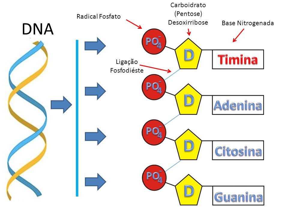DNA 4- 4- 4- 4- Radical Fosfato Carboidrato (Pentose) Desoxirribose Base Nitrogenada Ligação Fosfodiéste