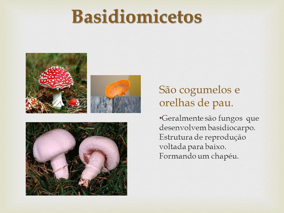 São cogumelos e orelhas de pau. Geralmente são fungos que desenvolvem basidiocarpo. Estrutura de reprodução voltada para baixo. Formando um chapéu. Ba