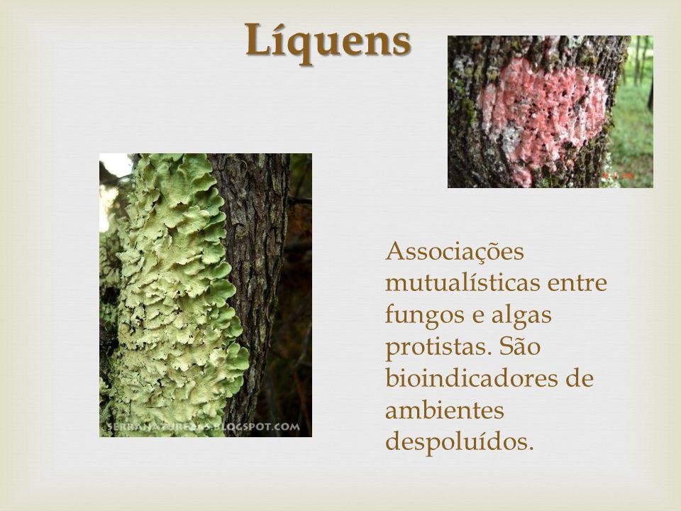 Associações mutualísticas entre fungos e algas protistas. São bioindicadores de ambientes despoluídos. Líquens