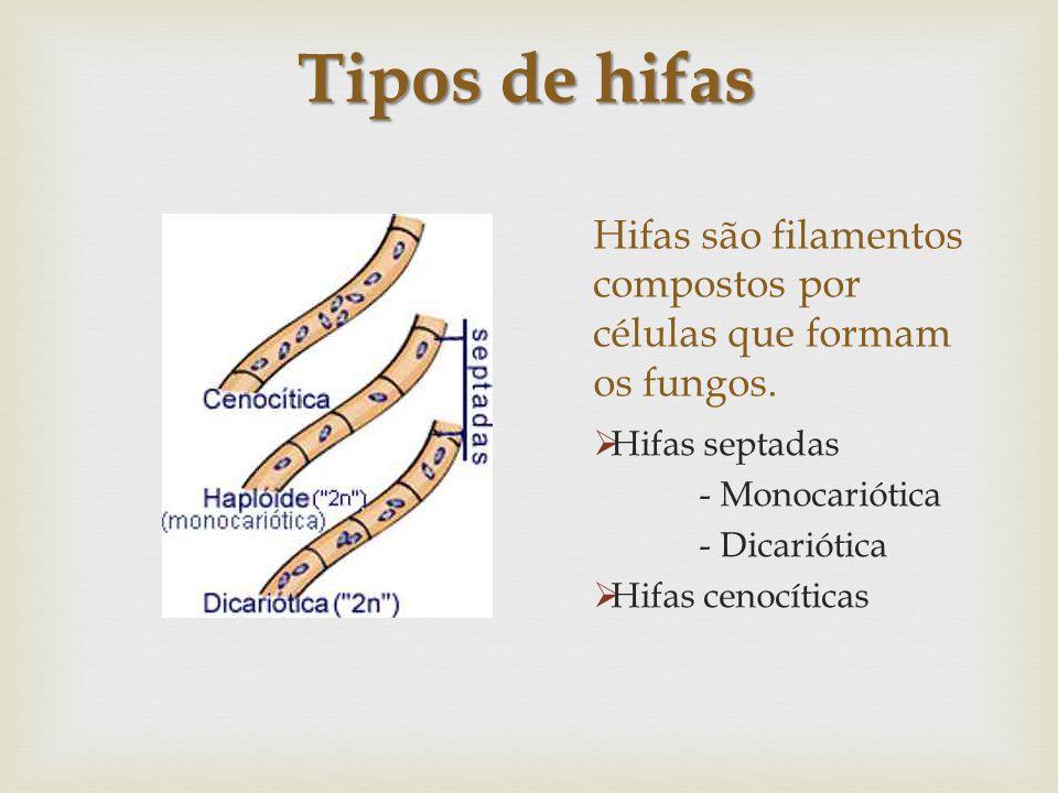 Hifas são filamentos compostos por células que formam os fungos. Hifas septadas - Monocariótica - Dicariótica Hifas cenocíticas Tipos de hifas
