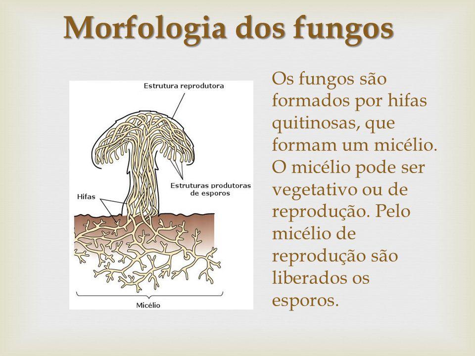 Os fungos são formados por hifas quitinosas, que formam um micélio. O micélio pode ser vegetativo ou de reprodução. Pelo micélio de reprodução são lib