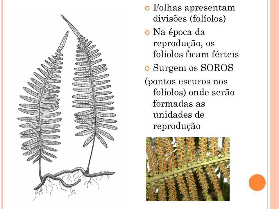 Folhas apresentam divisões (folíolos) Na época da reprodução, os folíolos ficam férteis Surgem os SOROS (pontos escuros nos folíolos) onde serão formadas as unidades de reprodução