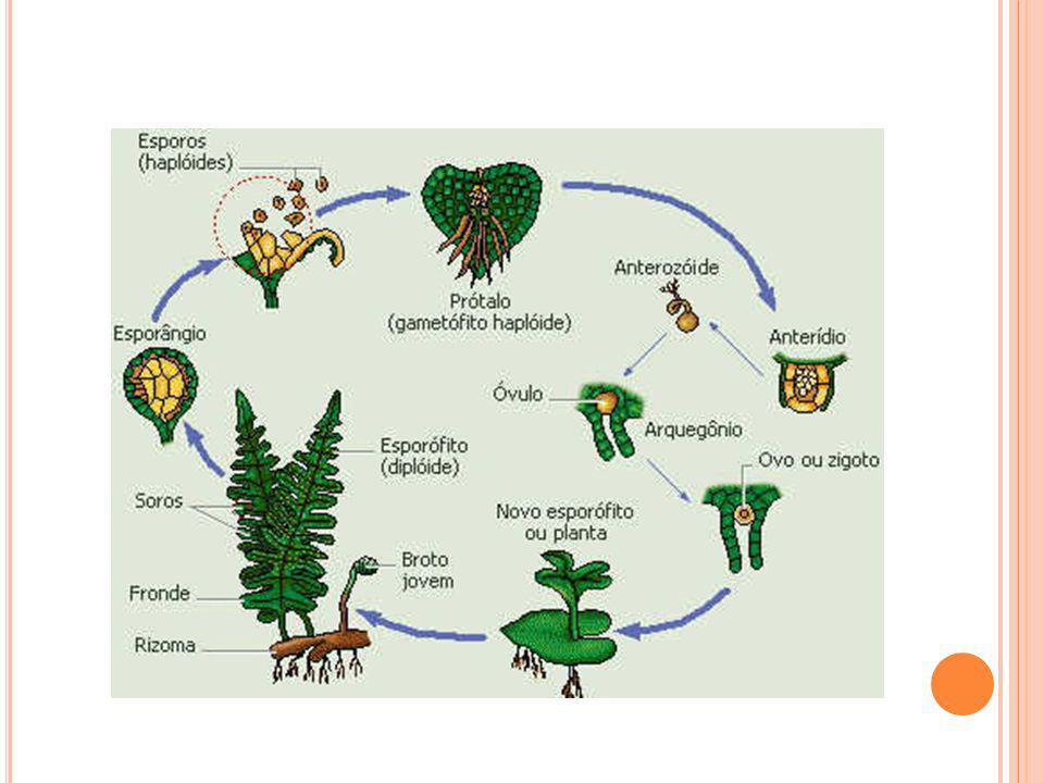 Folhas apresentam divisões (folíolos) Na época da reprodução, os folíolos ficam férteis Surgem os SOROS (pontos escuros nos folíolos) onde serão forma