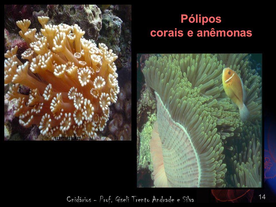 Cnidários - Prof. Giseli Trento Andrade e Silva 14 Pólipos corais e anêmonas