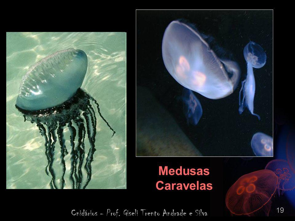 Cnidários - Prof. Giseli Trento Andrade e Silva 19 Medusas Caravelas