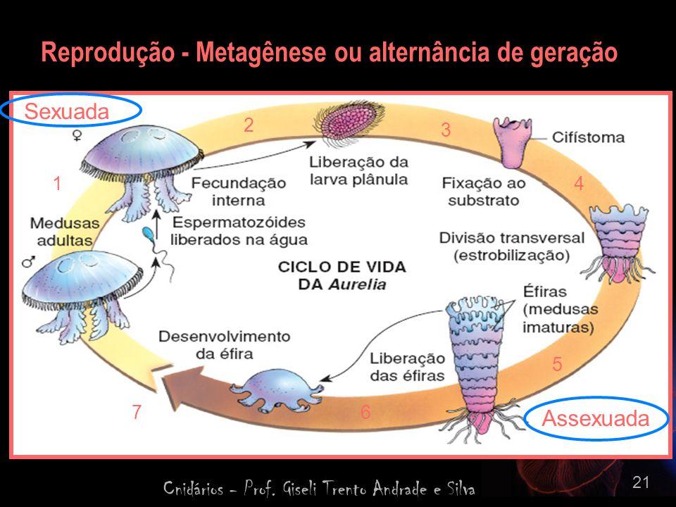 Cnidários - Prof. Giseli Trento Andrade e Silva 21 Reprodução - Metagênese ou alternância de geração 1 2 3 4 5 67 Sexuada Assexuada