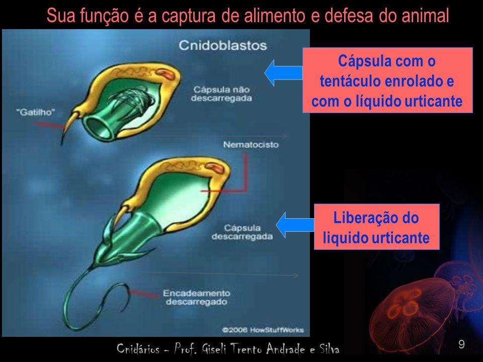 Cnidários - Prof. Giseli Trento Andrade e Silva 20 REPRODUÇÃOREPRODUÇÃO