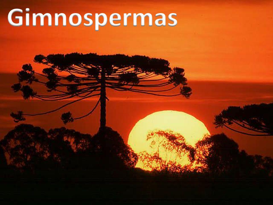 Araucária Cica PinheiroSequoia
