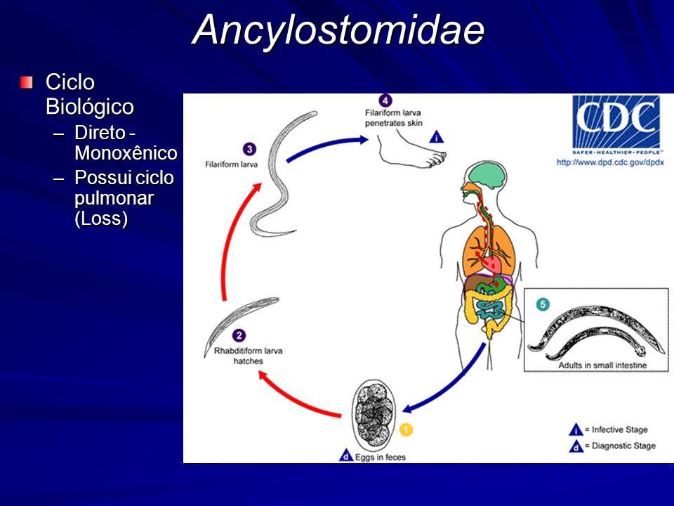 Ancylostomidae Ciclo Biológico –Direto - Monoxênico –Possui ciclo pulmonar (Loss)