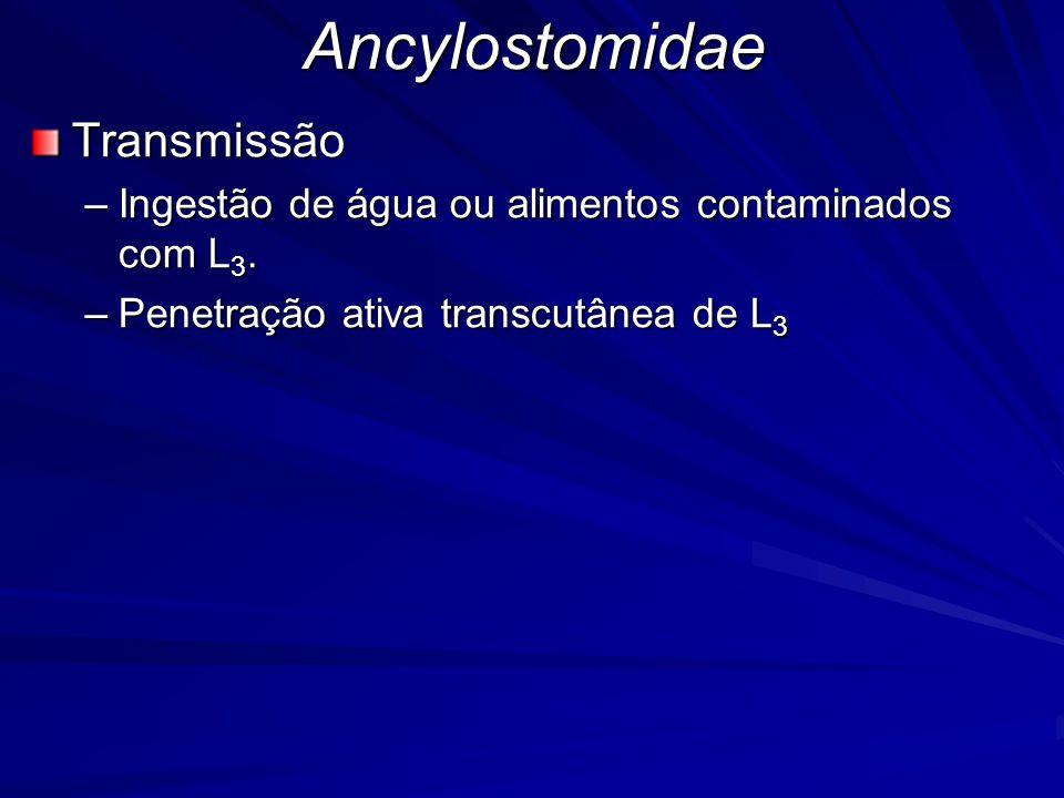 AncylostomidaeTransmissão –Ingestão de água ou alimentos contaminados com L 3. –Penetração ativa transcutânea de L 3