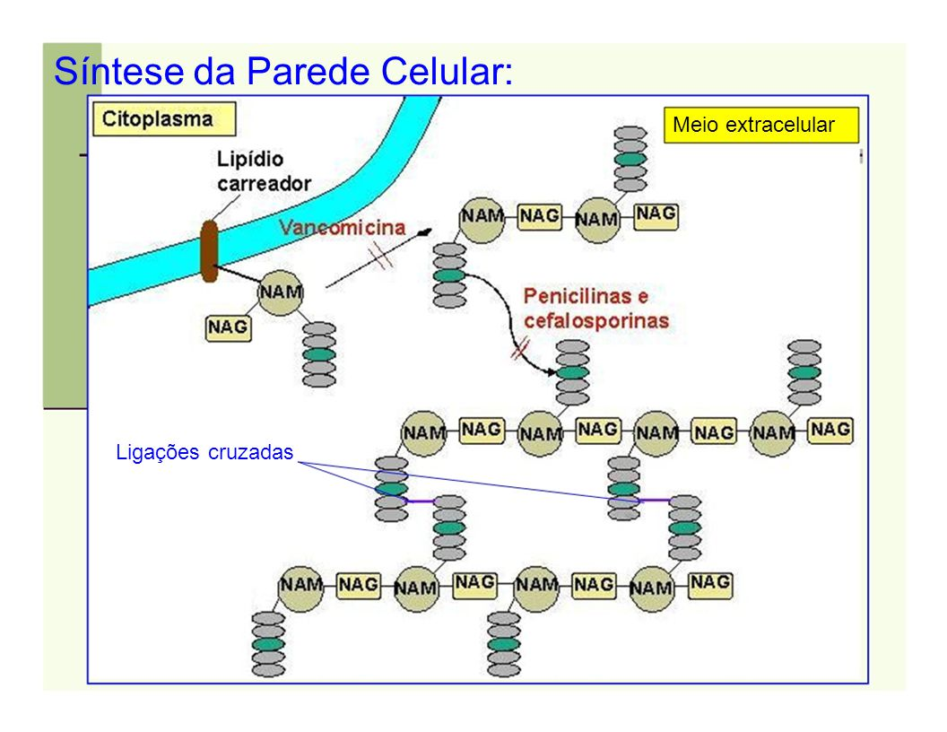Síntese da Parede Celular: Meio extracelular Ligações cruzadas