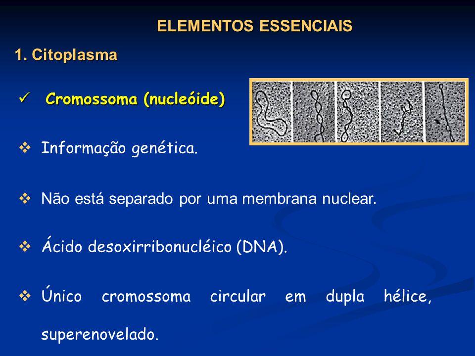 Cromossoma (nucleóide) Cromossoma (nucleóide) Informação genética. Ácido desoxirribonucléico (DNA). Único cromossoma circular em dupla hélice, superen