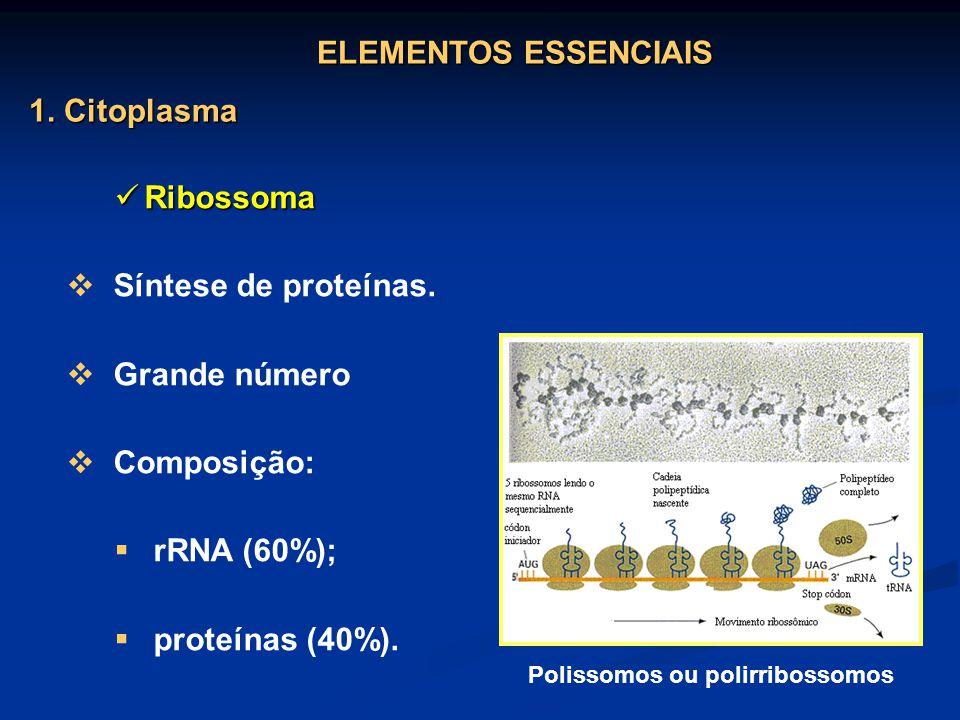 Ribossoma Ribossoma Síntese de proteínas. Grande número Composição: rRNA (60%); proteínas (40%). Polissomos ou polirribossomos ELEMENTOS ESSENCIAIS 1.