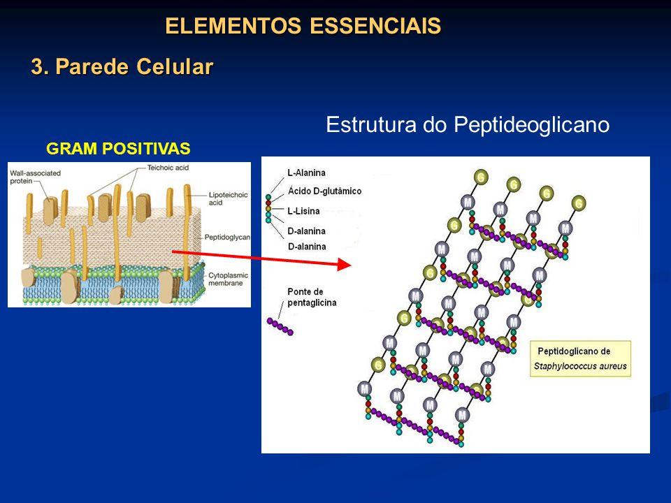 ELEMENTOS ESSENCIAIS 3. Parede Celular GRAM POSITIVAS Estrutura do Peptideoglicano