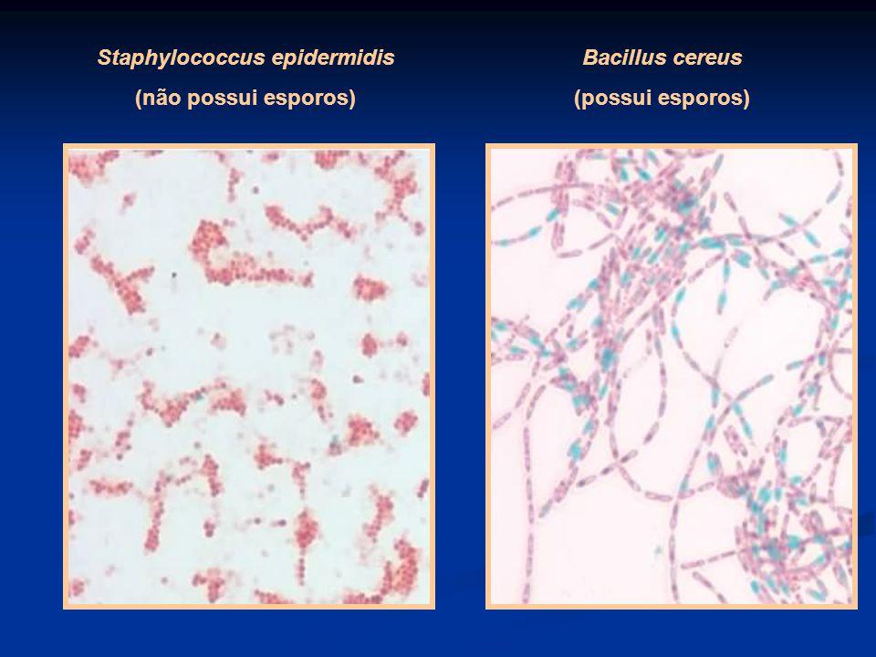 Staphylococcus epidermidis (não possui esporos) Bacillus cereus (possui esporos)