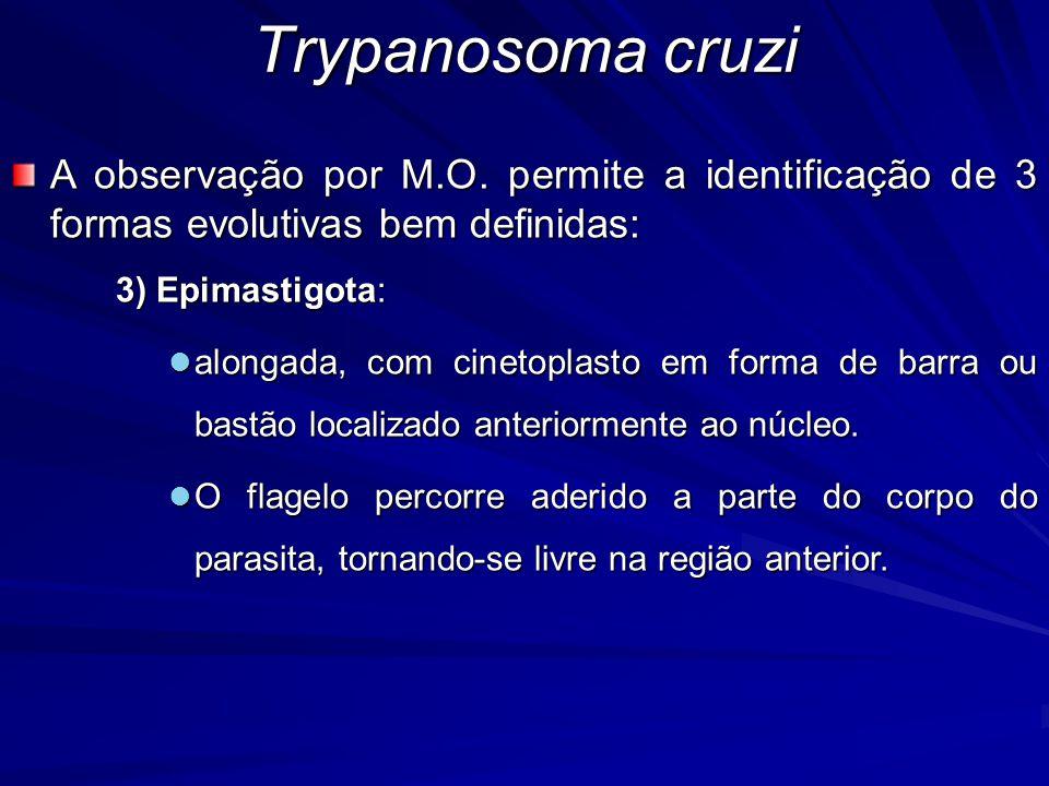 A observação por M.O. permite a identificação de 3 formas evolutivas bem definidas: 3) Epimastigota: alongada, com cinetoplasto em forma de barra ou b