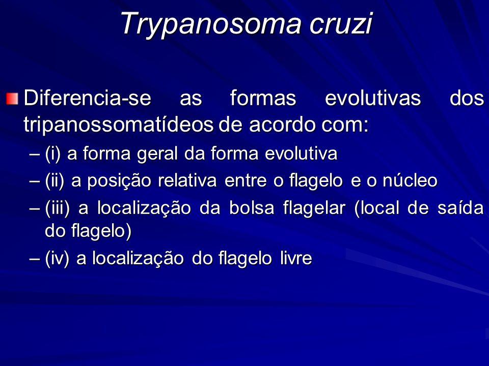 Diferencia-se as formas evolutivas dos tripanossomatídeos de acordo com: –(i) a forma geral da forma evolutiva –(ii) a posição relativa entre o flagel