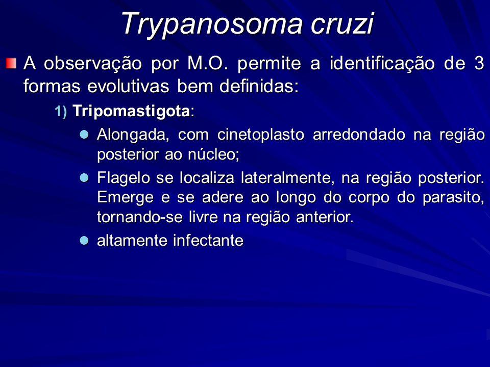 A observação por M.O. permite a identificação de 3 formas evolutivas bem definidas: 1) Tripomastigota: Alongada, com cinetoplasto arredondado na regiã
