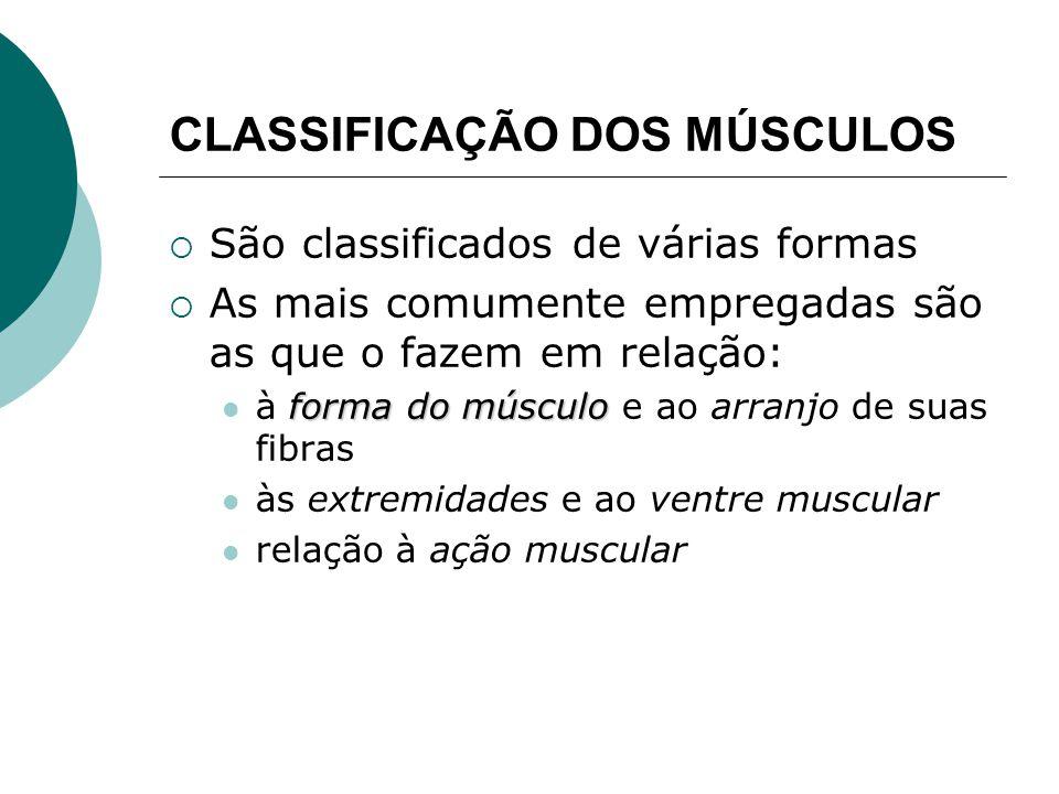 CLASSIFICAÇÃO DOS MÚSCULOS São classificados de várias formas As mais comumente empregadas são as que o fazem em relação: forma do músculo à forma do músculo e ao arranjo de suas fibras às extremidades e ao ventre muscular relação à ação muscular