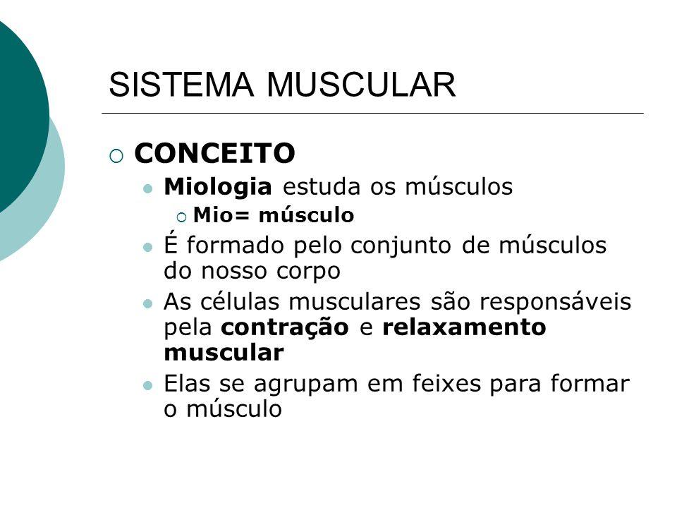 MECÂNICA MUSCULAR A contração do ventre muscular vai produzir um trabalho mecânico gerando o deslocamento de um segmento do corpo As extremidades do músculo prendem-se em pelo menos dois ossos, de maneira que o músculo cruza a articulação