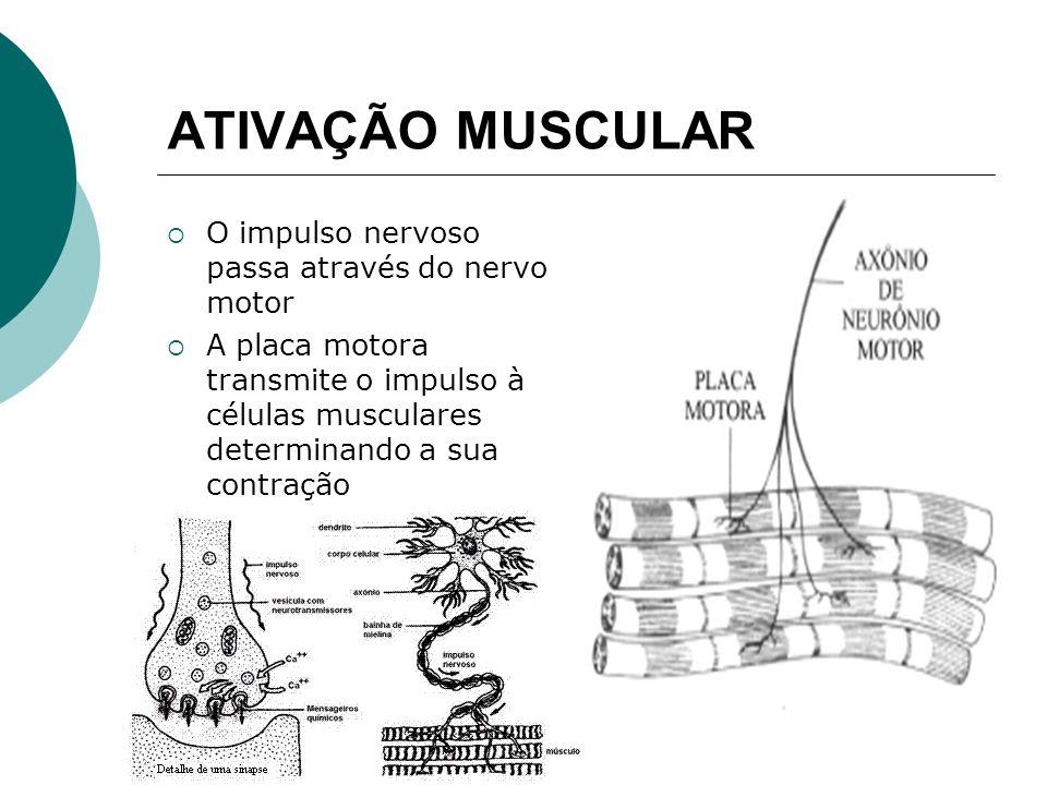 ATIVAÇÃO MUSCULAR O impulso nervoso passa através do nervo motor A placa motora transmite o impulso à células musculares determinando a sua contração