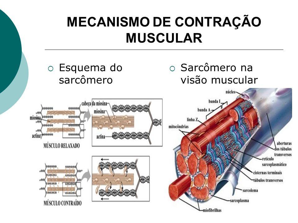 QUANTO AO VENTRE MUSCULAR Digástricos os músculos que apresentam dois ventres (músculo digástrico) Poligástricos os que apresentam maior número de ventres (reto abdominal)
