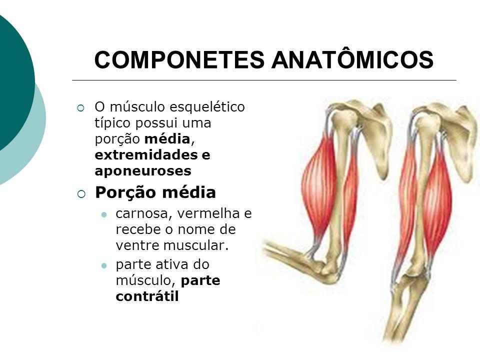 COMPONETES ANATÔMICOS O músculo esquelético típico possui uma porção média, extremidades e aponeuroses Porção média carnosa, vermelha e recebe o nome de ventre muscular.
