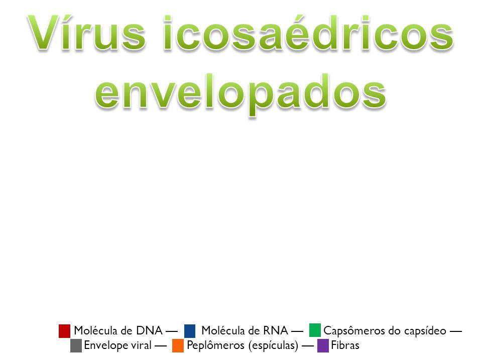 Vírus icosaédricos envelopados Pseudorabies virus (PRV) (família: Herpesviridae) Vírus icosaédricos envelopados possuem material genético formado por dsDNA, dsRNA, ou (+)ssRNA.