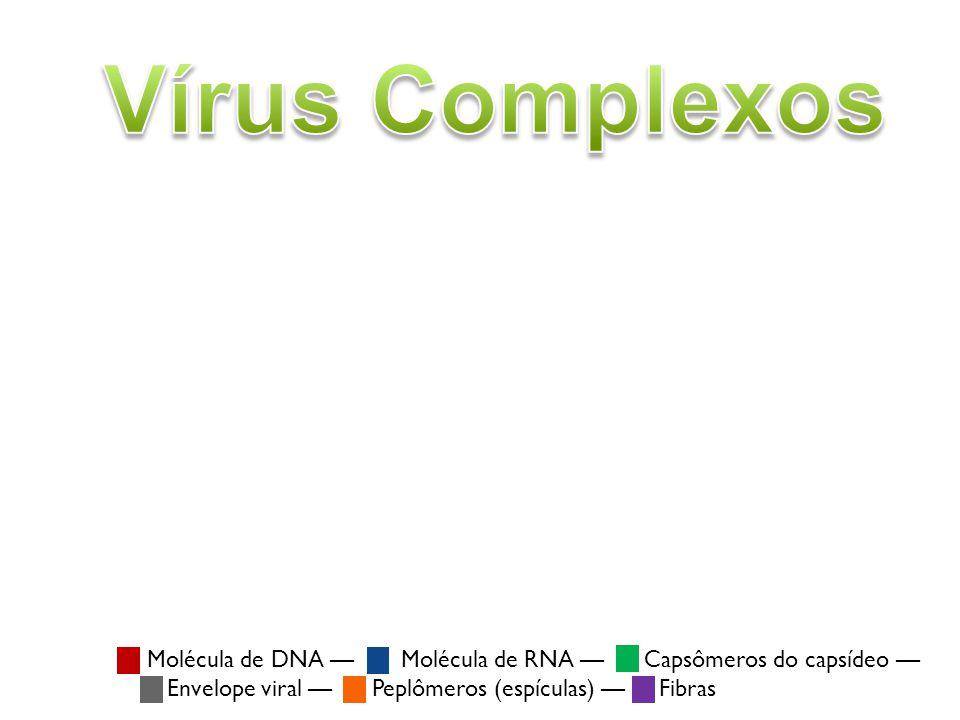 Molécula de DNA Molécula de RNA Capsômeros do capsídeo Envelope viral Peplômeros (espículas) Fibras