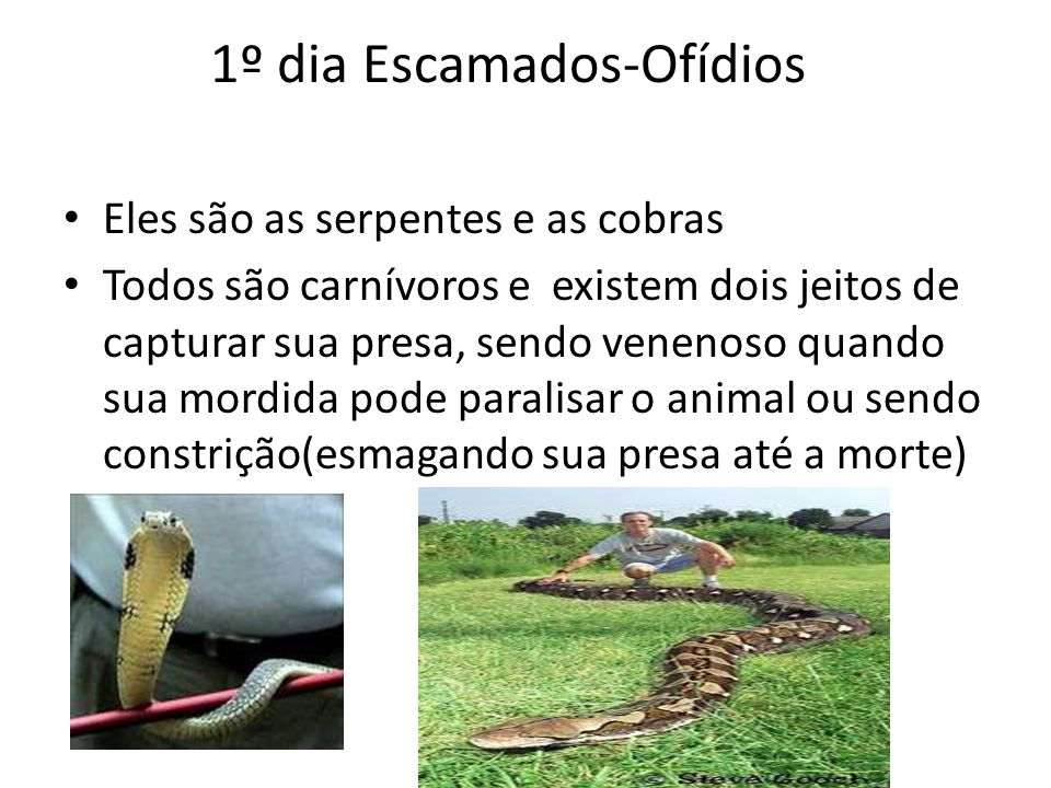 1º dia Escamados-Ofídios Eles são as serpentes e as cobras Todos são carnívoros e existem dois jeitos de capturar sua presa, sendo venenoso quando sua