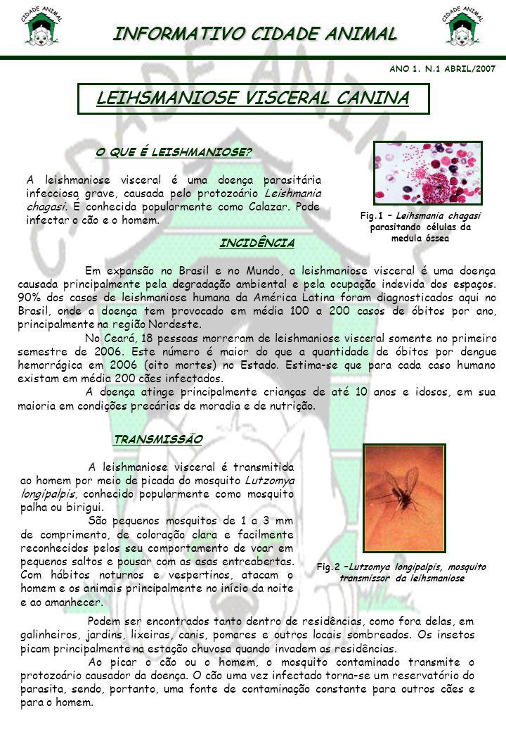 INFORMATIVO CIDADE ANIMAL ANO 1. N.1 ABRIL/2007 LEIHSMANIOSE VISCERAL CANINA Fig.1 – Leihsmania chagasi parasitando células da medula óssea O QUE É LE