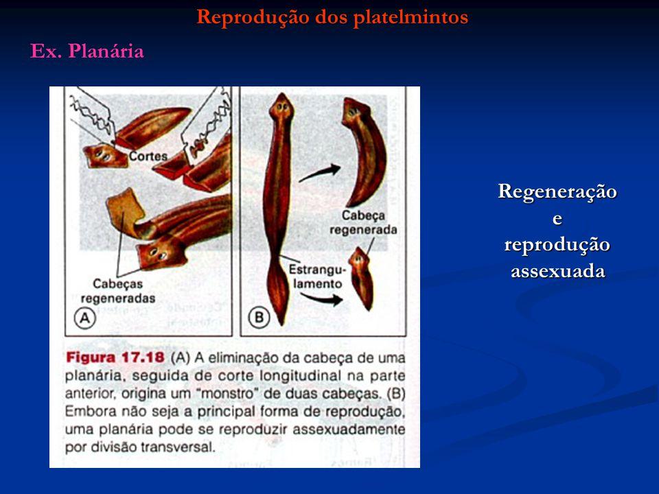 Reprodução dos platelmintosRegeneraçãoe reprodução assexuada Ex. Planária