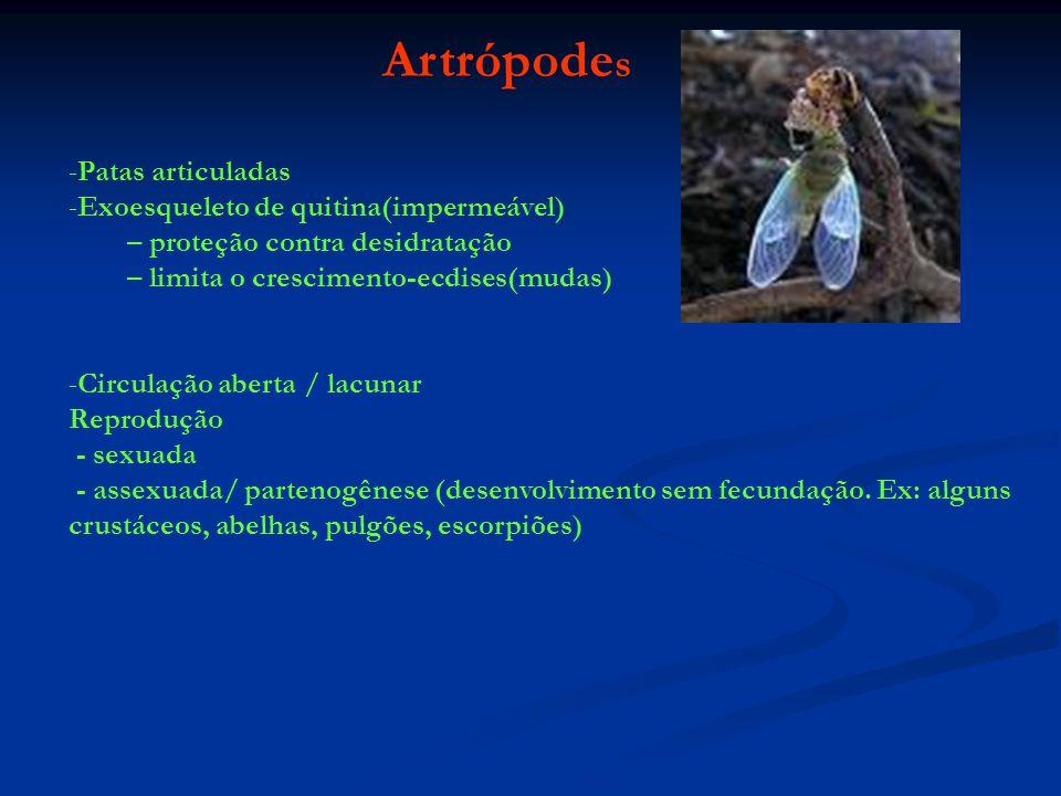 Artrópode s -Patas articuladas -Exoesqueleto de quitina(impermeável) – proteção contra desidratação – limita o crescimento-ecdises(mudas) -Circulação