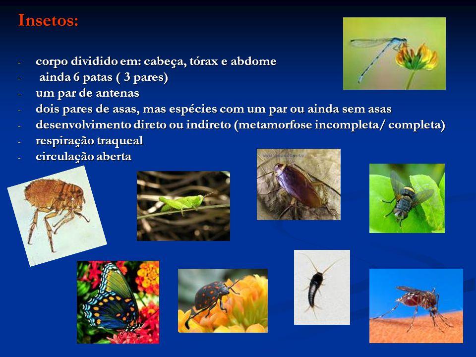 Insetos: - corpo dividido em: cabeça, tórax e abdome - ainda 6 patas ( 3 pares) - um par de antenas - dois pares de asas, mas espécies com um par ou a