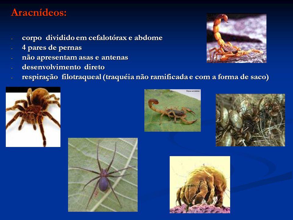 Aracnídeos: - corpo dividido em cefalotórax e abdome - 4 pares de pernas - não apresentam asas e antenas - desenvolvimento direto - respiração filotra