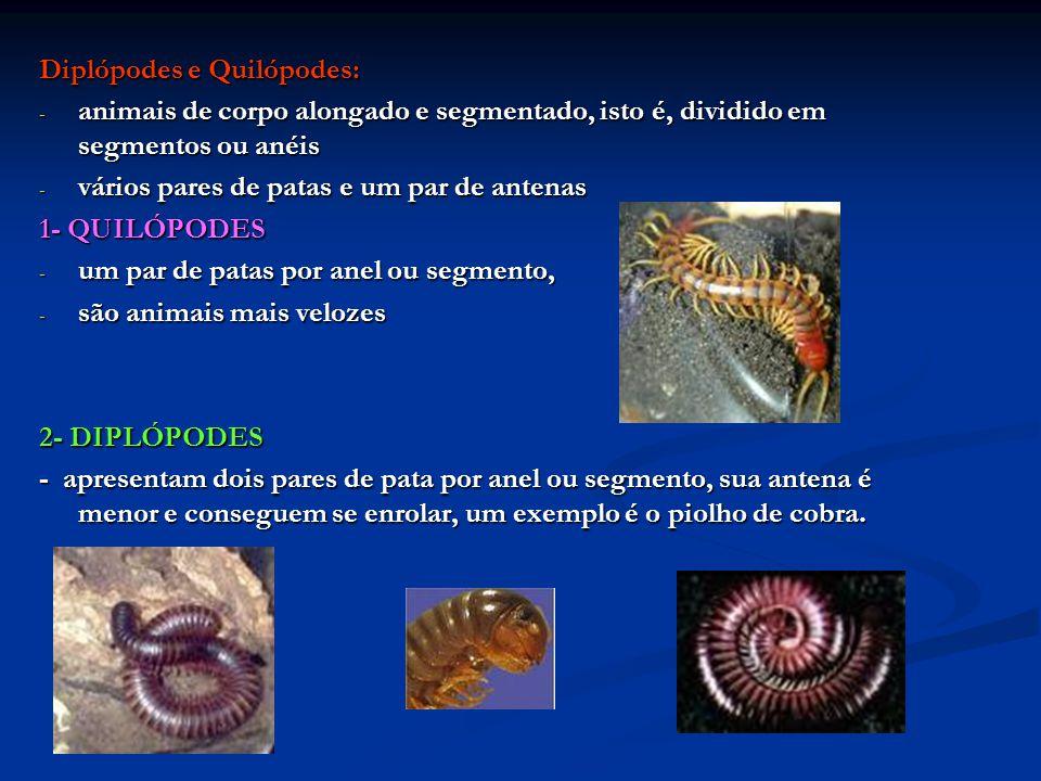 Diplópodes e Quilópodes: - animais de corpo alongado e segmentado, isto é, dividido em segmentos ou anéis - vários pares de patas e um par de antenas