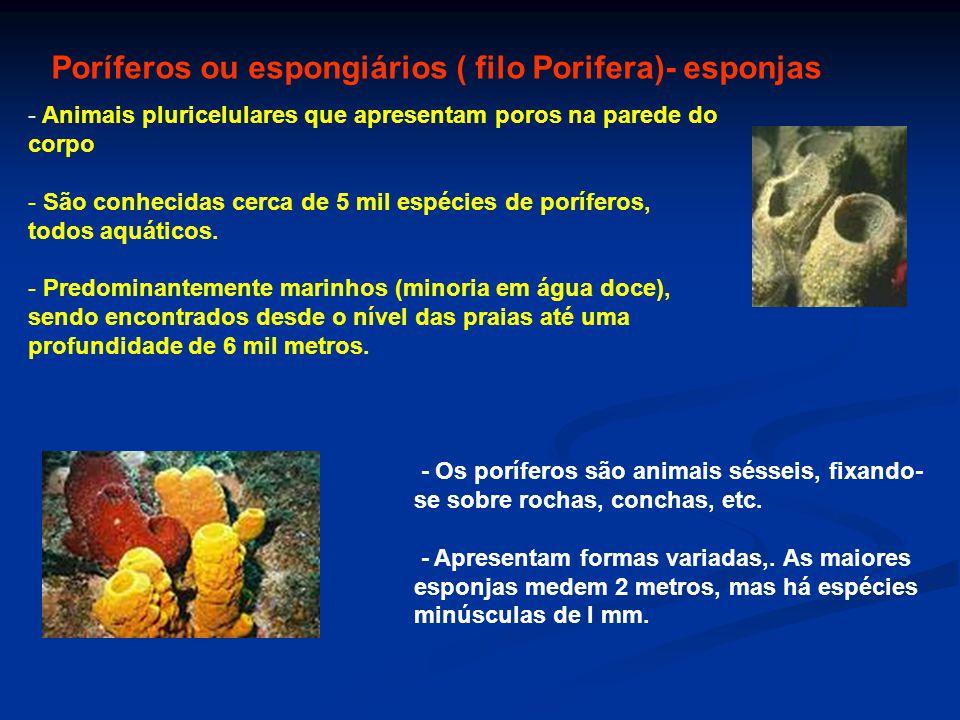 - Animais pluricelulares que apresentam poros na parede do corpo - São conhecidas cerca de 5 mil espécies de poríferos, todos aquáticos. - Predominant
