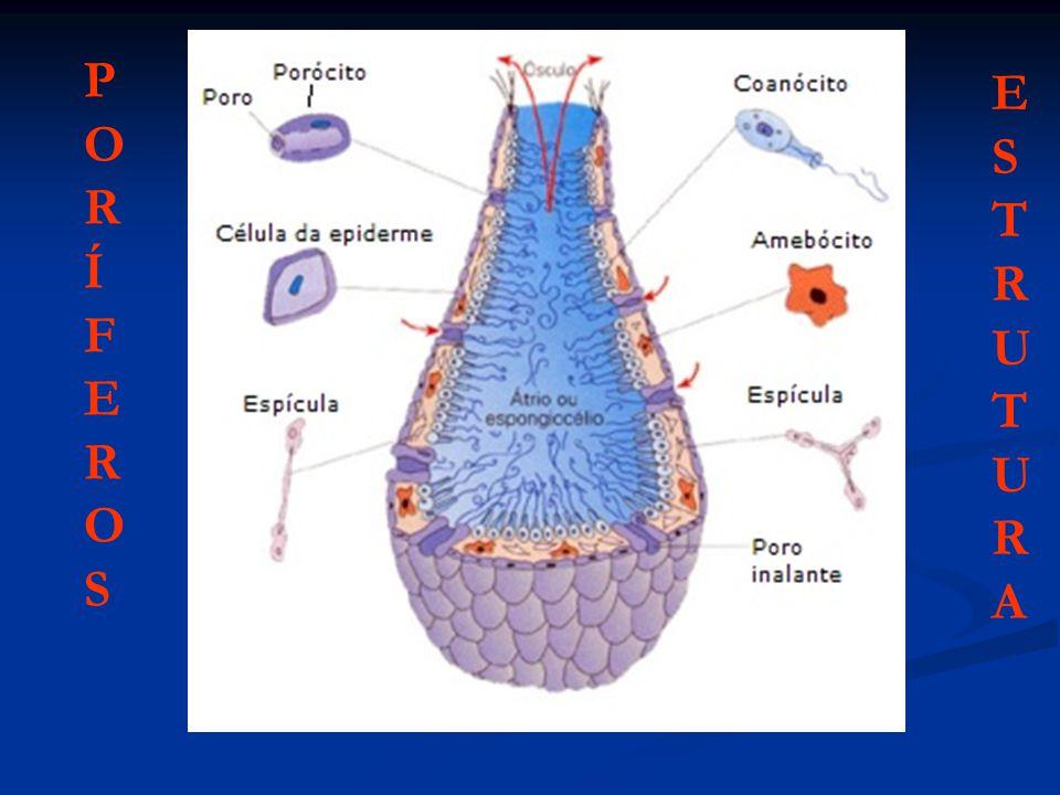 A reprodução das esponjas pode ser assexuada e sexuada.