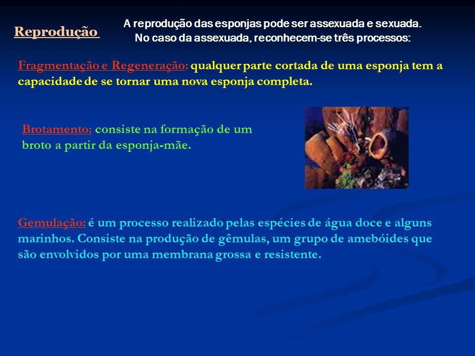 Classificação 1- Gastrópodes ( caramulos e caracóis) 2- Bivalves ou Pelecipodas (ostra, mexilhão) 3- Cefalópodes (polvo, lula) 4- Amfineuras (chiton) 5- Scaphopoda (dentalium) 1 23 4 5
